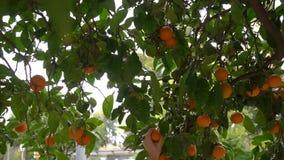 Una mano del ` s del hombre rasga los mandarines maduros de un árbol Naranjas de la selección de los granjeros en la huerta españ almacen de video