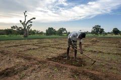 Una mano dell'agricoltore coltiva il raccolto a Sigiriya nello Sri Lanka Fotografia Stock