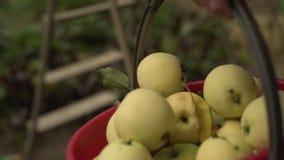 Una mano della donna che seleziona una mela matura rossa da di melo video d archivio