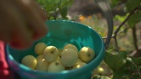 Una mano della donna che seleziona una mela matura rossa da di melo archivi video
