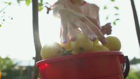 Una mano della donna che seleziona una mela matura rossa da di melo stock footage