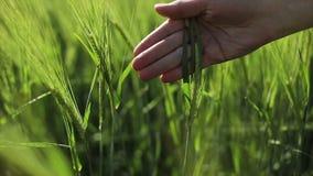 Una mano della femmina segna le orecchie verdi del grano con amore video d archivio