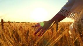 Una mano femenina toca un punto del trigo en un campo contra un cierre del fondo de la puesta del sol para arriba, en una cámara