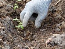 Una mano gloved prende le grillotalpe nel giardino Fotografia Stock