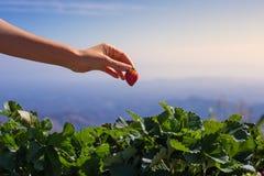 Una mano ha selezionato la fragola fresca dall'azienda agricola della piantagione della fragola con il fondo della montagna Fotografie Stock