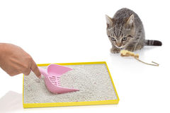Una mano que filtra la arena artificial en la bandeja y el gato que miran Foto de archivo libre de regalías