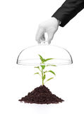 Una mano que lleva a cabo una cubierta sobre una planta de la pimienta en suelo Imágenes de archivo libres de regalías