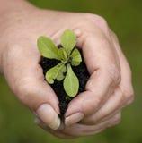 Una mano que sostiene una pequeña planta Imágenes de archivo libres de regalías