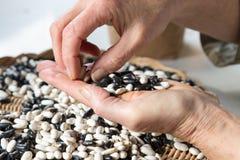 Una mano sta tenendo i fagioli Fotografia Stock Libera da Diritti