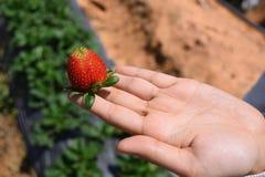 Una mano sta tenendo una fragola nel giacimento organico della fragola in Dalat, Vietnam Fotografia Stock Libera da Diritti
