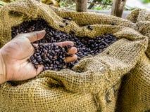 Una mano tiene i chicchi di caffè aromatici arrostiti freschi in sacco marrone con l'ambiente dell'azienda agricola Immagini Stock