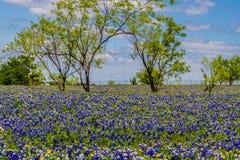 Una manta muy gruesa de Texas Bluebonnets en Texas Country Meadow con los árboles y los cielos azules. Foto de archivo libre de regalías