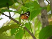Una mantequilla como la búsqueda para el néctar en el paniculata de Buddleja o el árbol de Rachavadee en Tailandia Foto de archivo libre de regalías
