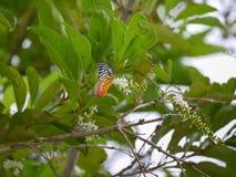 Una mantequilla le gusta buscar para el néctar en el paniculata o el Rachavadee de Buddleja en Tailandia Imagen de archivo