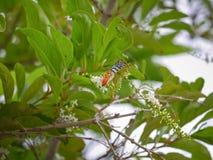 Una mantequilla le gusta buscar para el néctar en el paniculata o el Rachavadee de Buddleja en Tailandia Fotos de archivo libres de regalías