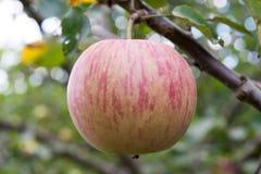 Una manzana en una rama de árbol imagen de archivo libre de regalías