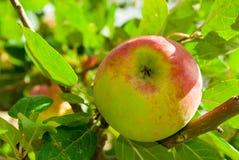 Una manzana en un árbol Fotografía de archivo libre de regalías