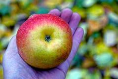 Una manzana madura grande en una palma abierta Foto de archivo