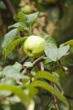 Una manzana verde en la opinión de la vertical de la ramificación del manzana-árbol Fotos de archivo libres de regalías