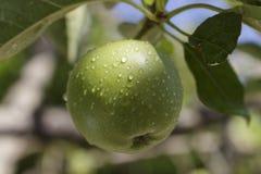 Una manzana verde que crece en el árbol cubierto con las gotitas de agua Fotos de archivo libres de regalías