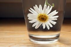 Una manzanilla blanca en un vidrio de agua Fotografía de archivo libre de regalías