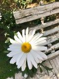 Una margarita blanca por un banco viejo imagen de archivo libre de regalías