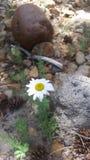 Una margarita bonita por el río Imagen de archivo libre de regalías