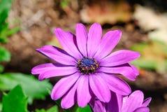 Una margarita púrpura Imagenes de archivo