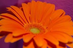 Una margherita arancio della gerbera fotografia stock libera da diritti