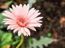 Una margherita del crisantemo Fotografie Stock Libere da Diritti
