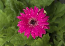 Una margherita rosa scura della gerbera Fotografie Stock Libere da Diritti