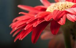 Una margherita rossa della gerbera Fotografie Stock Libere da Diritti