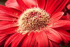 Una margherita rossa della gerbera Fotografia Stock