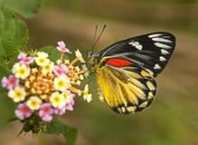 Una mariposa Fotografía de archivo