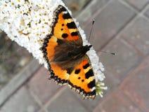 Una mariposa anaranjada Foto de archivo libre de regalías