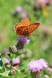 Una mariposa anaranjada que se sienta en la flor rosada del cardo Foto de archivo