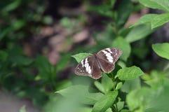 Una mariposa atractiva Fotografía de archivo libre de regalías