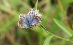 Una mariposa azul común femenina Polyommatus Ícaro se encaramó en una flor Imágenes de archivo libres de regalías