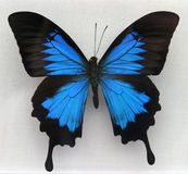 Una mariposa azul hermosa Foto de archivo libre de regalías