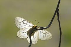 Una mariposa blanca Fotografía de archivo