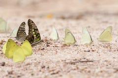 Una mariposa bonita en un suelo arenoso Imágenes de archivo libres de regalías