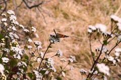 Una mariposa colorida que se sienta en la pequeña flor en el bosque del santuario de fauna de Binsar situado en Almora Uttrakhand foto de archivo libre de regalías