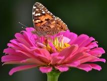 Una mariposa colorida que se sienta en una flor rosada y amarilla en un fondo oscuro Imagen de archivo