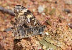 Una mariposa con color oscuro Imagenes de archivo