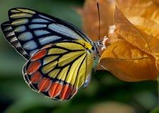 Una mariposa de Jezabel encaramada en la flor amarilla imagen de archivo