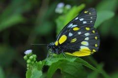 Una mariposa de Jezabel encaramada en la flor amarilla Imágenes de archivo libres de regalías