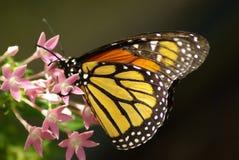 Una mariposa de monarca Imagen de archivo