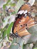 Una mariposa de monarca Fotografía de archivo