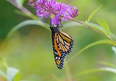Una mariposa de monarca cuelga al revés Fotografía de archivo libre de regalías
