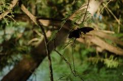 Una mariposa de monarca en el lado derecho, en el palillo de un árbol con las hojas verdes imágenes de archivo libres de regalías